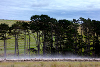 Sheep in a field in the north island of New Zealand