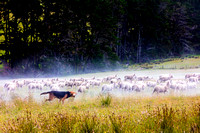 A dog herding sheep in the north island of New Zealand