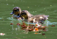 Baby duck in a pond of New Zealand