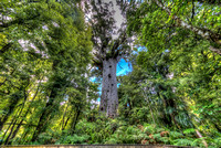 The giant Kauri tree Tane Mahuta in New Zealand