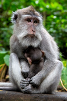 Adult mother Balinese long tailed monkey and her baby in Bali