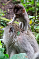 Baby monkey with mother in Bali Indonesia